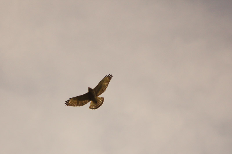 Hawk or Eagle?