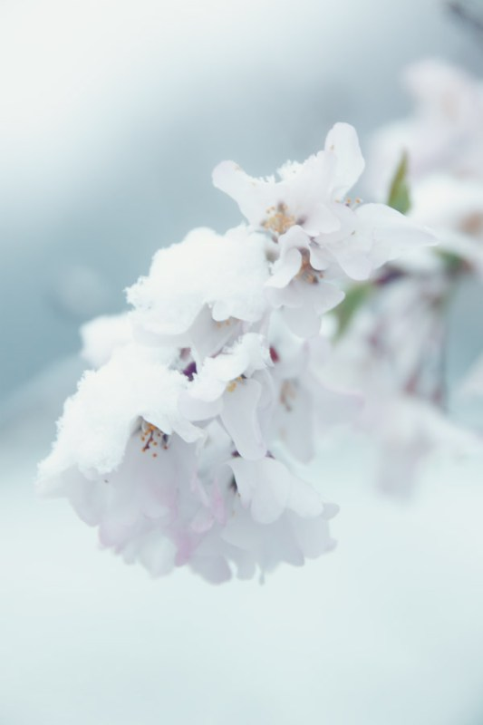 Spring bloom in snow