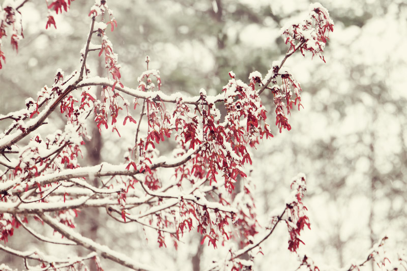 Red buds in snow