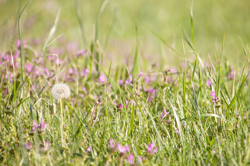 Dandelions, grass and purple wildflowers
