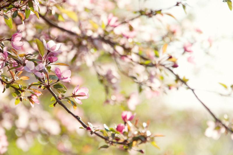 Pink Spring Buds