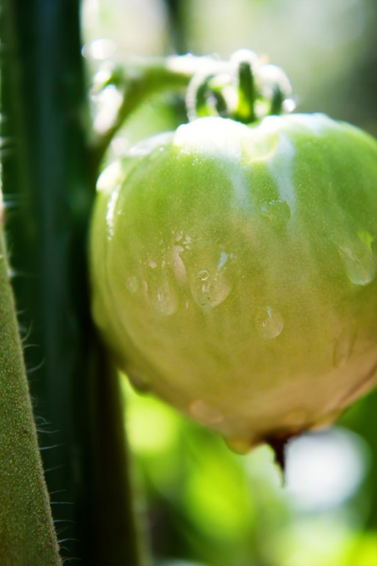 Close up of rain drops on a tomato on the vine