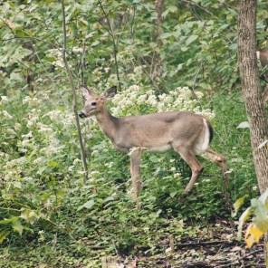 1007_deer1