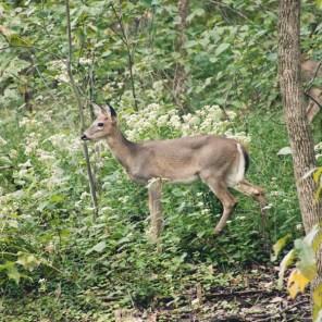 1007_deer2