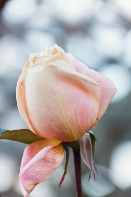 1115_rose2