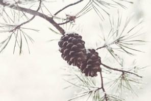 219_pinecones