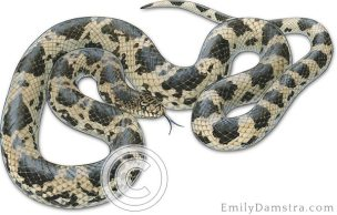 Northern pine snake Pituophis melanoleucus illustration