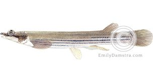 Largescale four-eyed fish illustration Anableps anableps