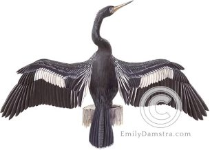 Anhinga illustration snakebird