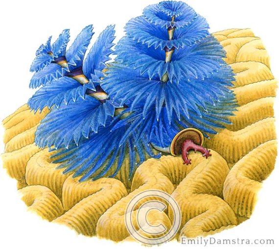 Christmas tree worm illustration Spirobranchus giganteus