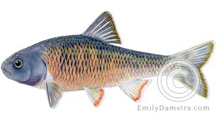 Common shiner Luxilus cornutus illustration