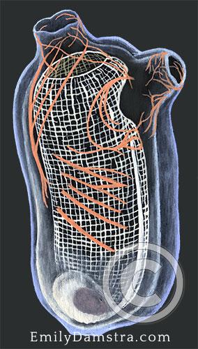 Gas mantle ascidian illustration Corella parallelogramma