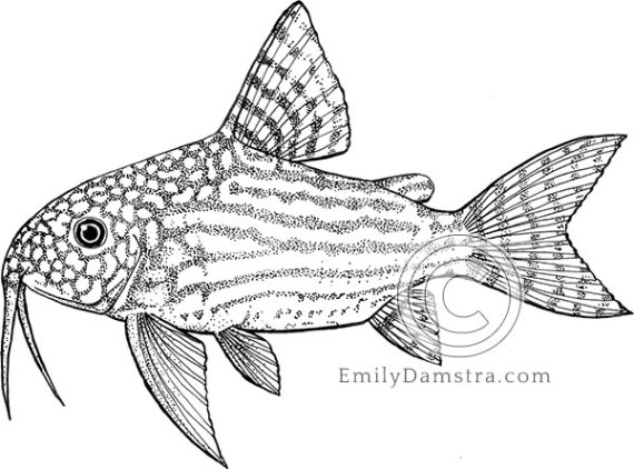 Sterba's corydoras illustration Corydoras sterbai