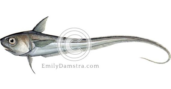 Round nose grenadier illustration Coryphaenoides rupestris