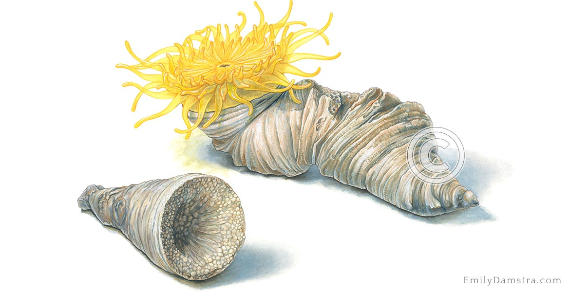 fossil coral devonian illustration