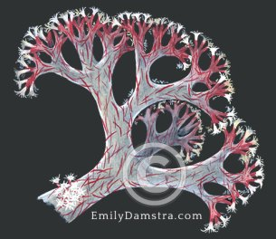 Red Sea soft coral illustration Dendronephthya hemprichi
