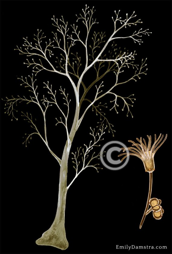 Eudendrium glomeratum illustration