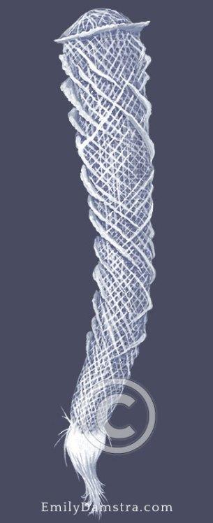 Venus' flower basket illustration Euplectella aspergillum