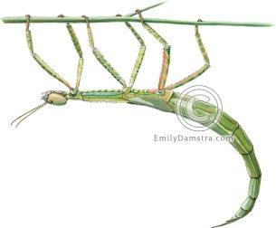 Darwin stick insect Eurycnema osiris