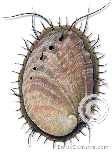 Red abalone illustration Haliotis rufescens