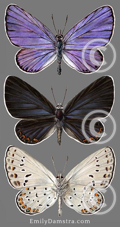 Karner blue butterfly illustration Lycaeides melissa samuelis