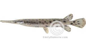 Spotted gar illustration Lepisosteus oculatus