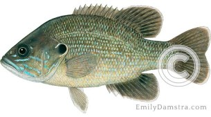 Green sunfish lepomis cyanellus