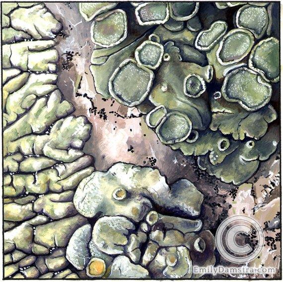 Lichens granite illustration
