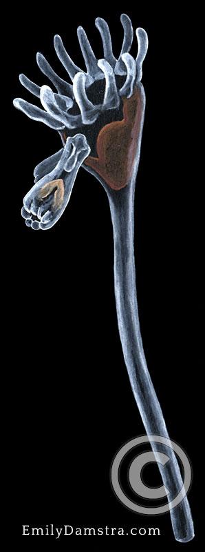 Loxomitra kefersteinii illustration entoproct