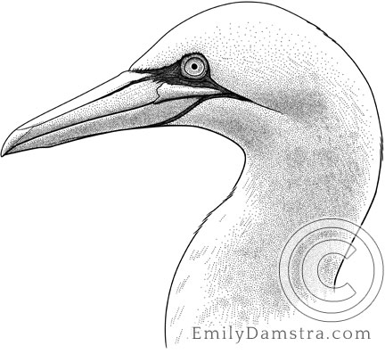 Illustration of a Northern gannet Morus bassanus