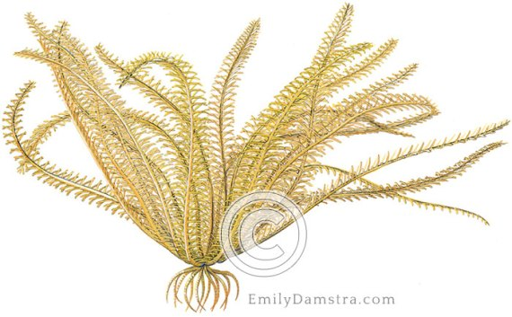 Orange sea lily illustration Davidaster rubiginosus nemaster