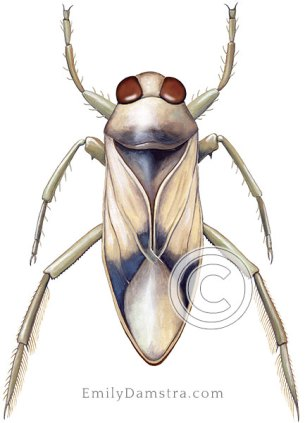 Notonecta sellata illustration