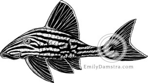 Royal panaque or Royal pleco illustration Panaque nigrolineatus