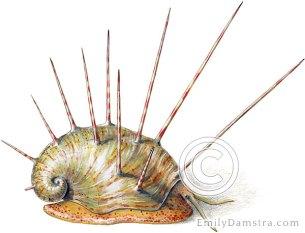 Devonian fossil snail, reconstructed Platyceras arkonense