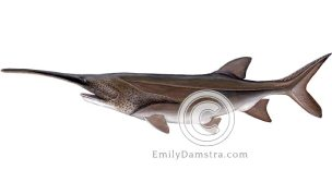 American paddlefish – Emily S. Damstra