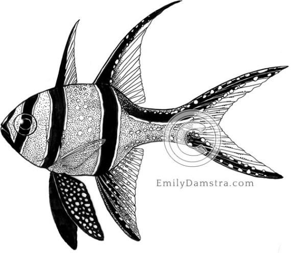 Banggai cardinalfish illustration Pterapogon kauderni