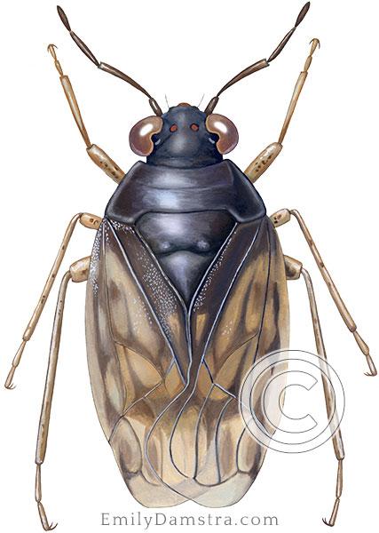 Saldula coxalis illustration