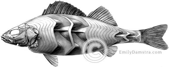 fish musculature illustration