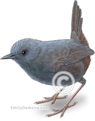 Stiles's tapaculo illustration Scytalopus stilesi