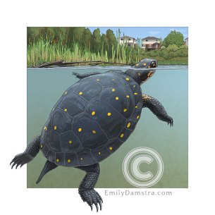 Spotted turtle – Emily S. Damstra