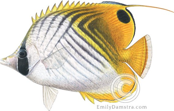 Threadfin butterflyfish Chaetodon auriga