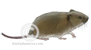 Townsend vole illustration Microtus townsendii