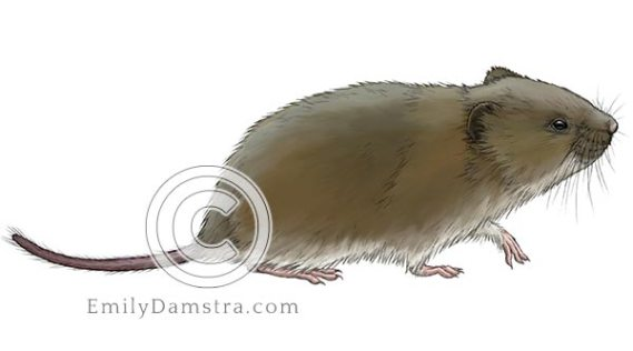 Townsend vole illustration Microtus townsendii