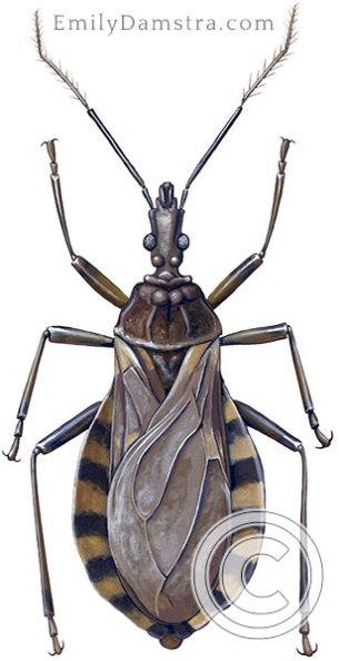Kissing bug illustration Triatoma infestans