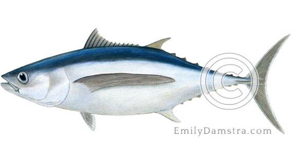 Albacore tuna illustration Thunnus alalunga