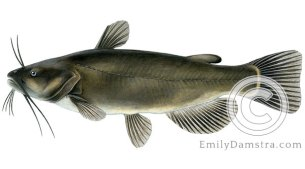 Black bullhead Ameiurus melas illustration