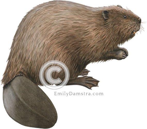 North American beaver illustration Castor canadensis
