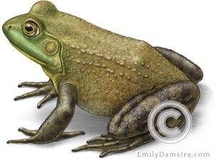 American bullfrog illustration Rana catesbeiana