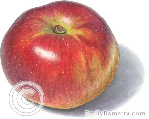 Baldwin apple illustration