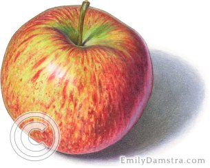 Cortland apple illustration